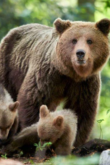 Safari de oso pardo en Eslovenia