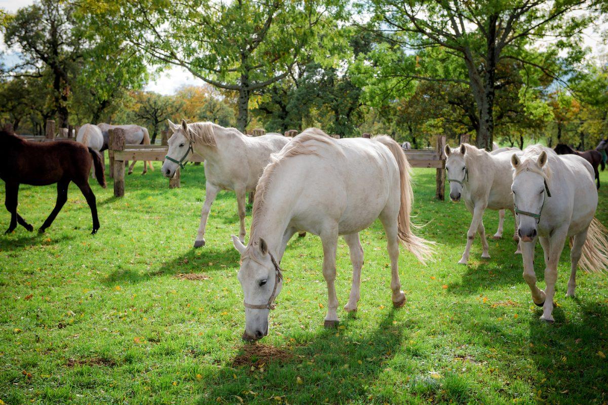 caballos lipizzanos